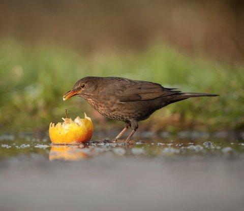 A female blackbird eating a fallen apple