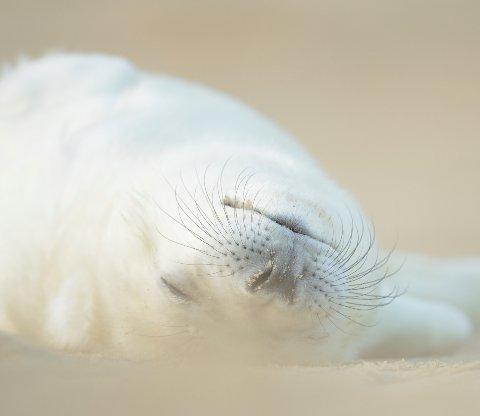 Sleeping seal pup