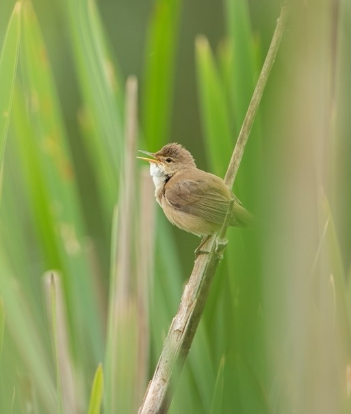 A reed warbler singing, perched on a reed.